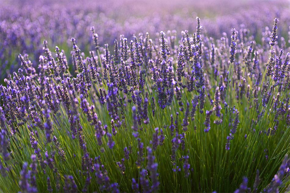 Provence zur Lavendelblüte, Puimoisson, 28.06.2017